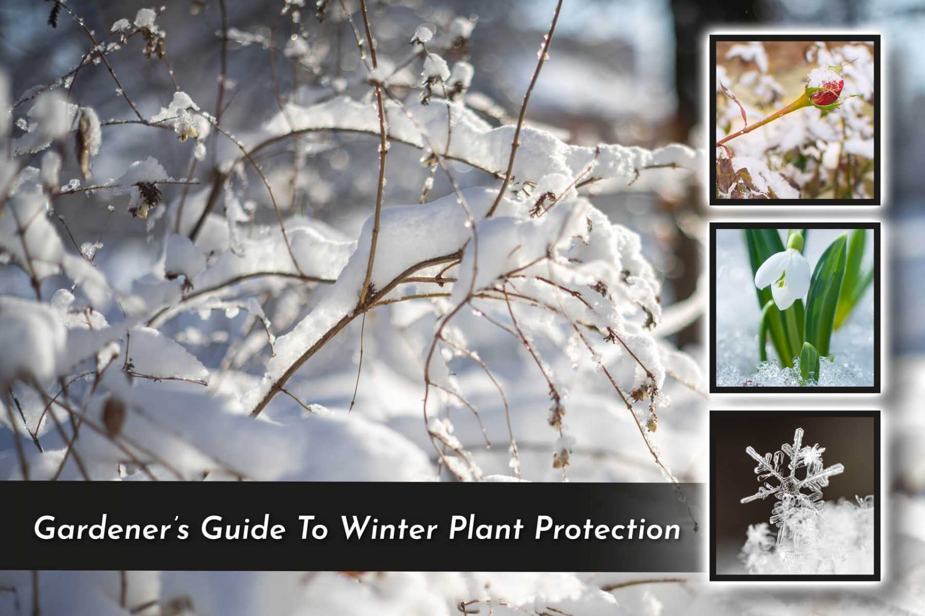 photo of snow-covered branches with three square images of plants and frost