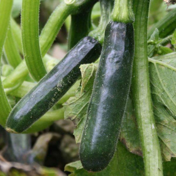 Zucchini. 500 gr.