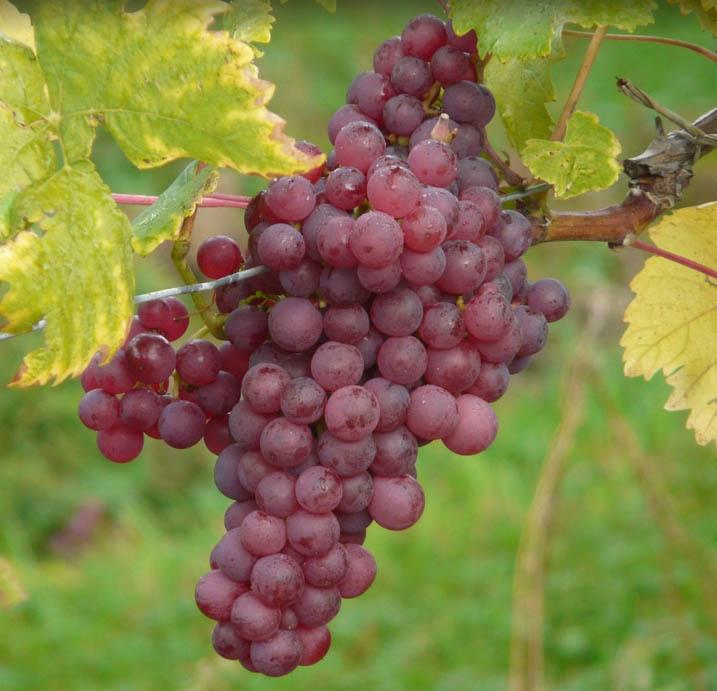 Uvas chilenas rojas. 500 gr. (no orgánicas)