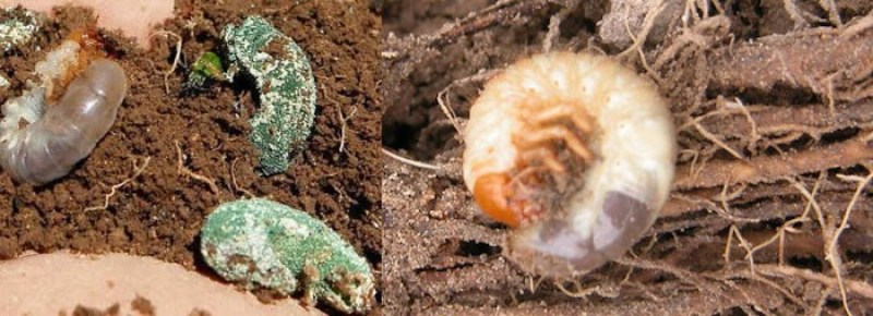 Gallinita ciega (Phyllophaga) con y sin Metarhizium