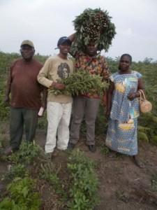 Feuilles de manioc