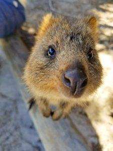 Quokka Rottnest Island Australia