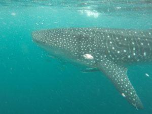 Whale Shark in the Ningaloo Reef Western Australia