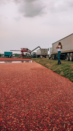 Cranberry bog at harvest in Wisconsin