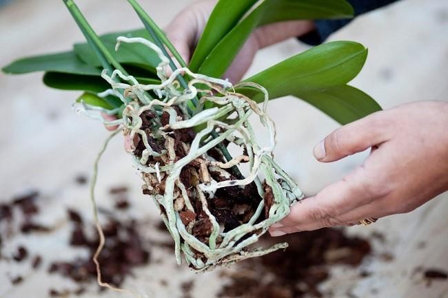 Rễ Orchida.