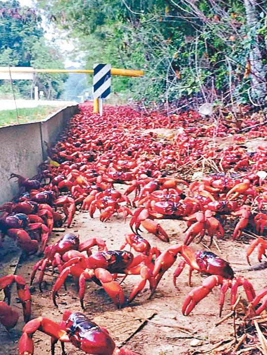 聖誕島紅螃蟹橫行 - 東方日報