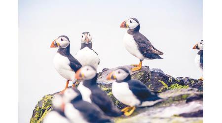 遊客大減 海鸚鵡湧英小島築巢 - 東方日報