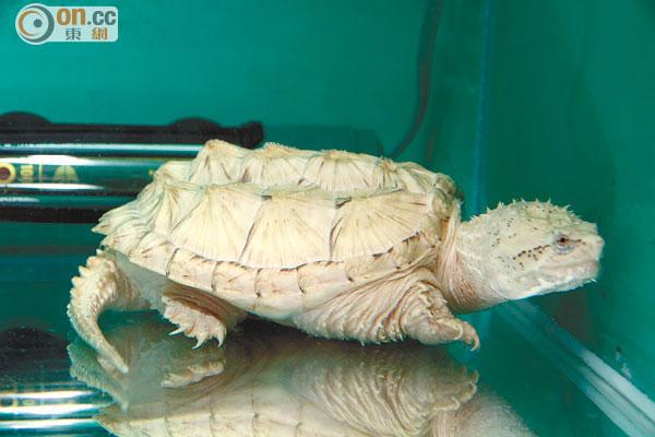 【北美】北美擬鱷龜 – TouPeenSeen部落格