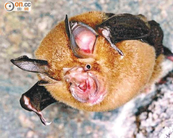 中國蝙蝠病毒 變種似沙士 - 東方日報