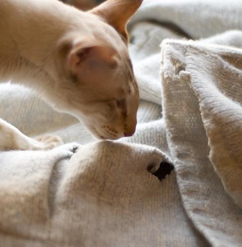 сиамский кот