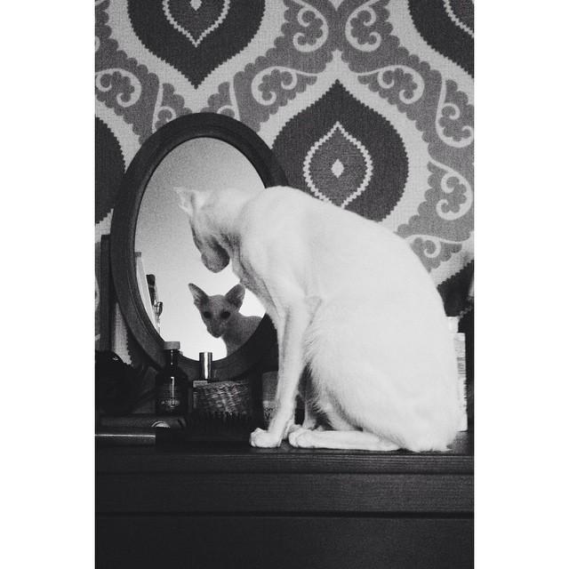 Сиамский кот. Форинвайт