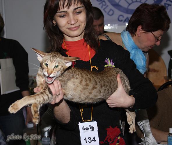 Сравнение ориентальных кошек на шоу