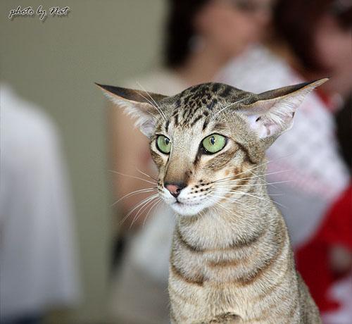Ориентальный кот, черный пятнистый