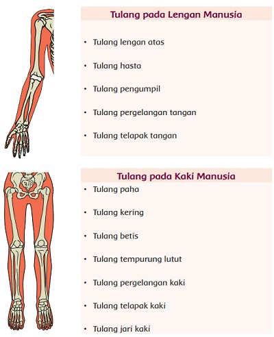 Fungsi Tulang Jari Kaki : fungsi, tulang, Tulang, Lengan, Fungsinya, Jawaban, Kelas