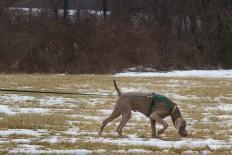 Allison Lucas's Weimaraner Bo, tracking at Fair Hill