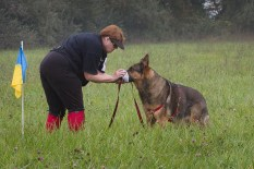 Diana Reich and her German Shepherd, Kemah, smelling the start article at the start flag on his way to earning his TDX. This photo was taken at the German Shepherd Tracking Test held in fall 2013 at Fair Hill, MD. Diane Reich is an Oriole member; Nancy Skinner, an Oriole member, was the Chief Tracklayer, and a number of Oriole students and instructors were there as working volunteers. As is the case in the local tracking community, members of the German Shepherd Club came to help with the 2014 Oriole Tracking Test also at Fair Hill.