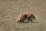 Sisi Smith's Golden Retriever, Belle, tracking in Joyce Lily's Intermediate Tracking Class