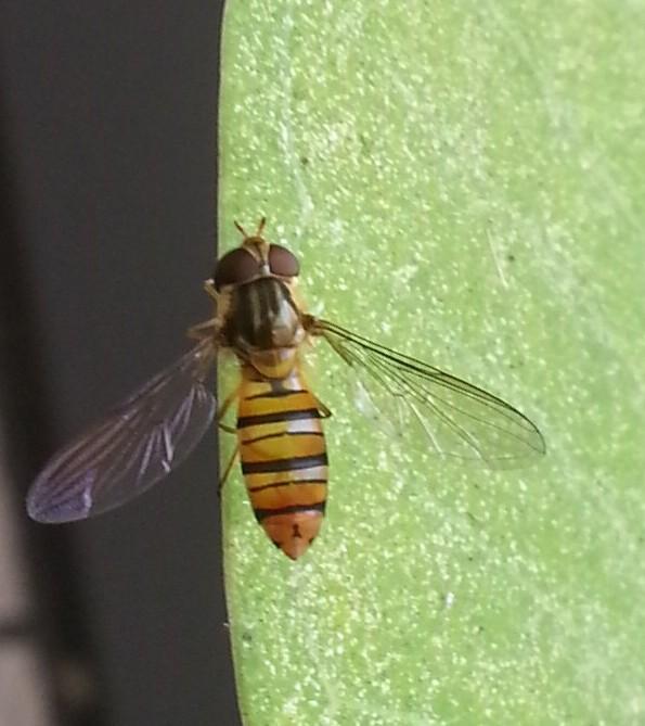 看見長得像蜜蜂的蒼蠅 - 食蚜蠅