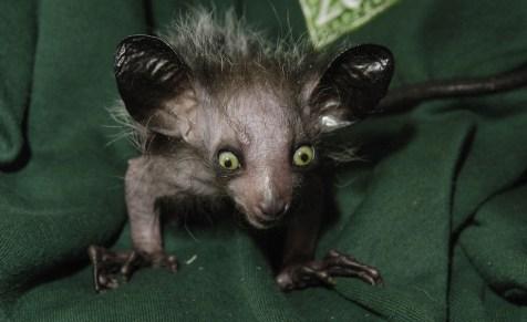 A Aye-aye é uma espécie de lêmure com olhos saltados e grandes orelhas. Ela vive nas florestas de Madagascar e usa o longo dedo médio para retirar larvas dos troncos de árvores ocas.