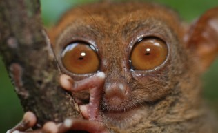 O Társio é um dos menores primatas do mundo. Ele mede apenas 13 centímetros e traz os olhos grandes e arredondados como seu grande diferencial. O animal também tem habilidades ultrassônicas. Ele consegue produzir e ouvir sons que fogem do alcance da audição humana.