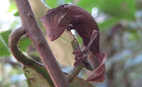 A lagartixa da espécie Uroplatus phantasticus tem uma cauda parecida com uma folha para se camuflar na floresta. Conhecida como lagartixa satânica, ela só é encontrada em florestas não perturbadas porque é muito sensível à destruição do habitat.