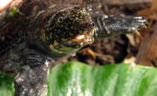 A Tartaruga-de-casco-mole é uma espécie que, além de não ter o casco rígido, usa o nariz comprido para respirar quando fica sem fôlego. Assim, ela não precisa tirar a cabeça da água e fica mais protegida contra os predadores.