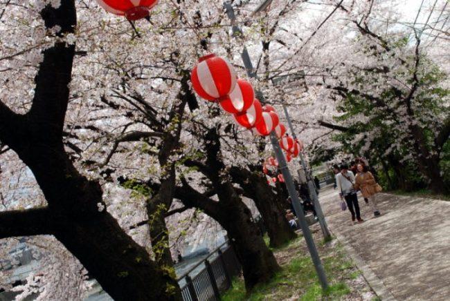 Hanami a Kyoto: i ciliegi lungo il Kamogawa