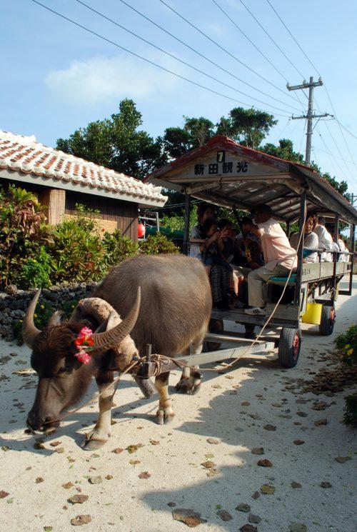 Taketomi: i bufali d'acqua che scarrozzano lentamente i turisti