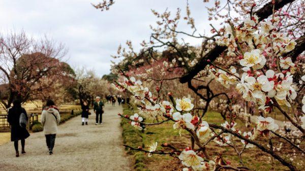 Prugni (o pruni) in fiore al Kairakuen di Mito