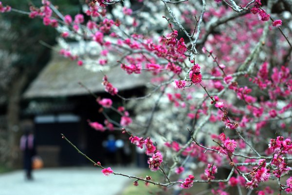 Plum blossoms in Japan: Kairakuen in Mito, Ibaraki