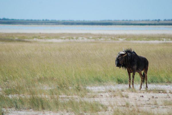 Uno gnu nell'Etosha National Park