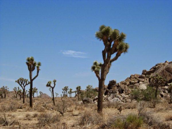 Tipico panorama del parco del Joshua Tree