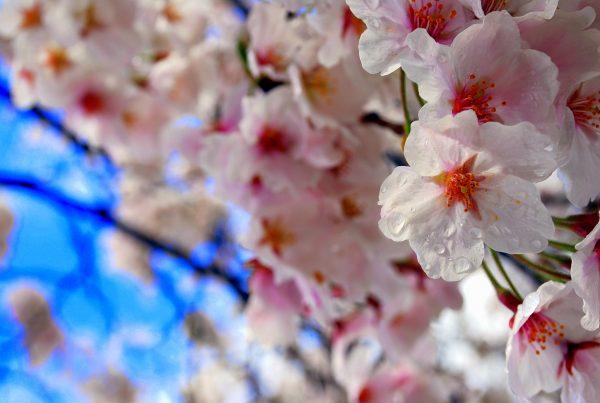 Ciliegi in fiore in Giappone