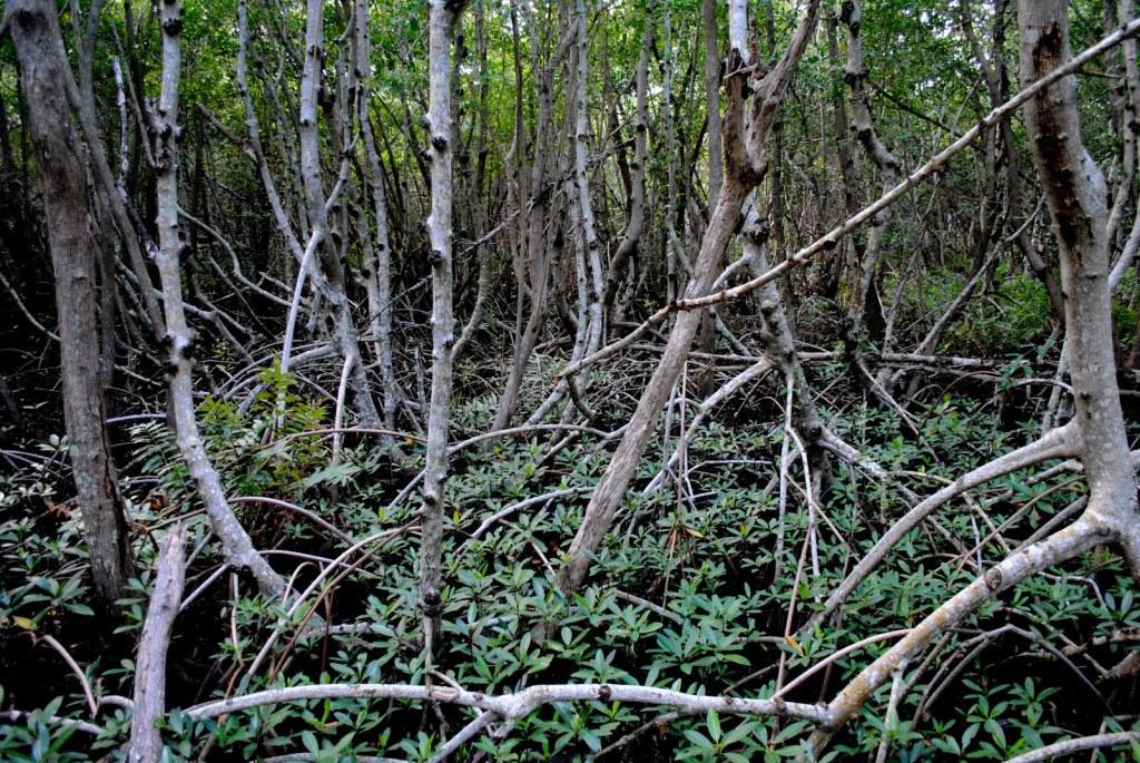 mangrove_sarasota_kayaking 2