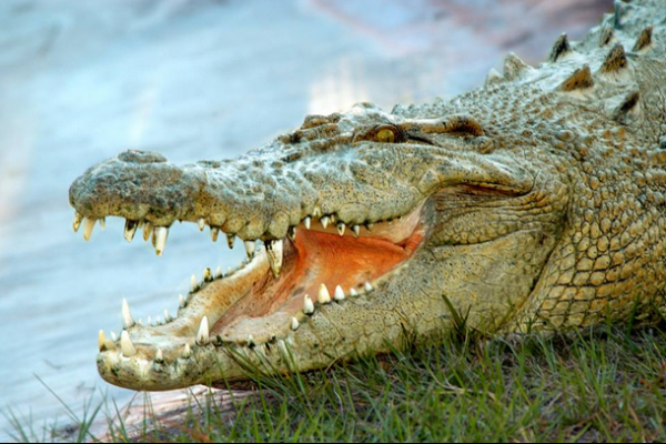 Free virtual things to do in Orlando: image of an alligator at Gatorland Orlando