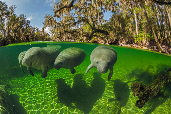 Central Florida Springs: image of manatees swimming in the springs