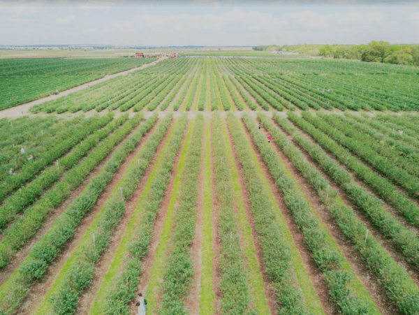 Where to pick blueberries in Orlando: image of blueberry fields at Southern Hill Farms in Clermont, Florida near Orlando