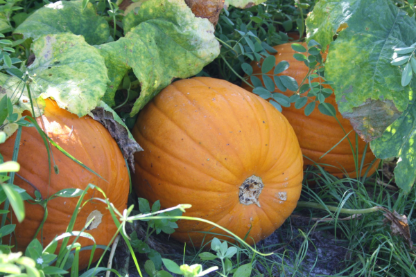 Pumpkin patches: image of an orange pumpkin ready for harvest at The Pickin' Patch