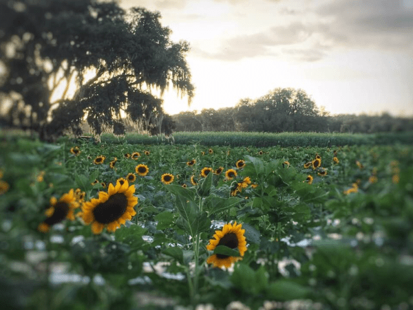 U-pick sunflowers near Orlando: image of The Pickin' Patch sunflower field in Dunnellon, Florida