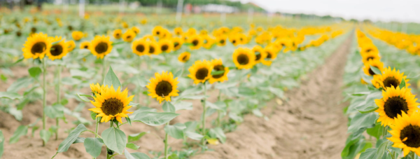 Sunflower fields near Orlando: image of rows of sunflowers at Southern Hill Farms in Clermont, Florida