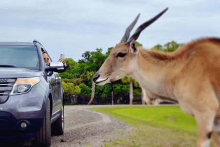 Wild Florida Drive-Thru Safari: image of woman in her car taking a picture of a gazelle on the safari tour