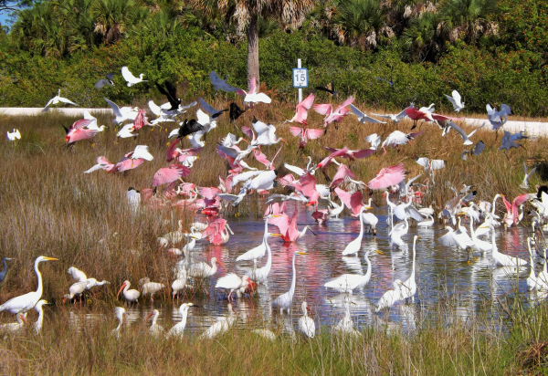 Blackpoint Wildlife Drive in Merritt Island: image of spoonbill birds