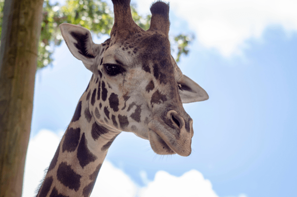 Central Florida Zoo discounts: image of giraffe at the zoo in Sanford, Florida
