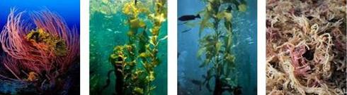 Ormus Minerals - RAINBOW Ocean Nectar Marine Phytoplankton