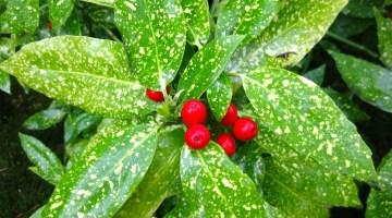 Aucuba japonica, Aucuba, laurel manchado, croto de lluvia, laurel moteado, cubana