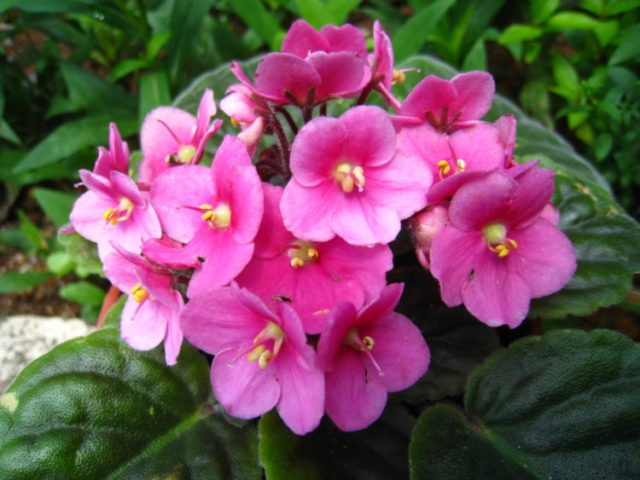 La violeta africana es una planta maravillosa para cultivar en interiores debido a su belleza y cuidado sencillo.