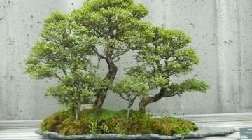 Los mejores árboles para hacer bonsái
