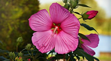 Tulipán Mexicano Rosa
