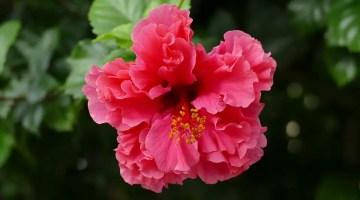 Tulipán Mexicano color Rosa