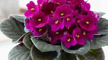 Cuidados de las violetas africanas, enfermedades y plagas